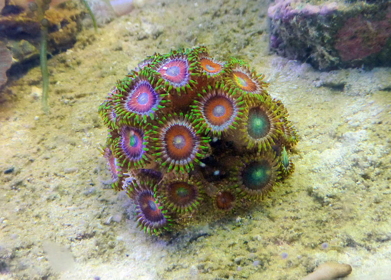 Zoantharia